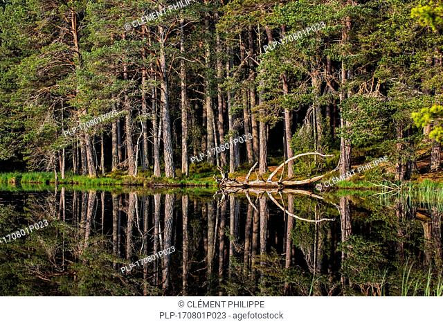 Scots pine trees on the shore of Loch Garten, reflected in water, Abernethy Forest, remnant of the Caledonian Forest in Strathspey, Scotland, UK