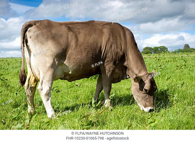 Domestic Cattle, Brown Swiss dairy cow, grazing in pasture beside electric fence, Dumfries, Dumfries and Galloway, Scotland, June