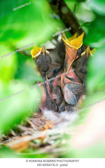 Florida State bird, northern mockingbird chicks (Mimus polyglottos) in nest waiting for food