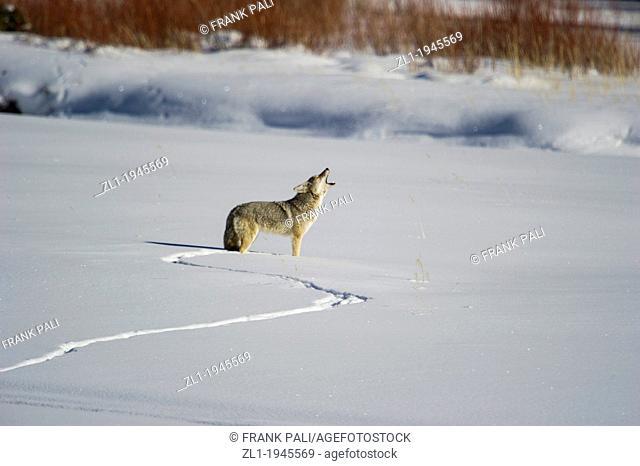 Coyote Canis latrans hunting along Lamar Valley at Yellowstone National Park, Mammoth Hot Springs, Wyoming, USA