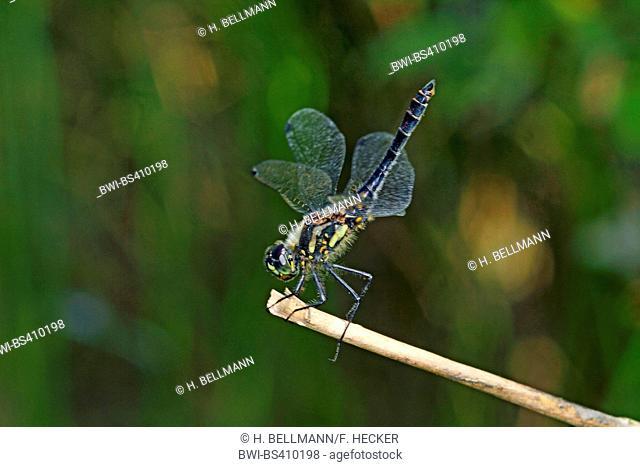 black sympetrum (Sympetrum danae), on a stem, side view, Germany