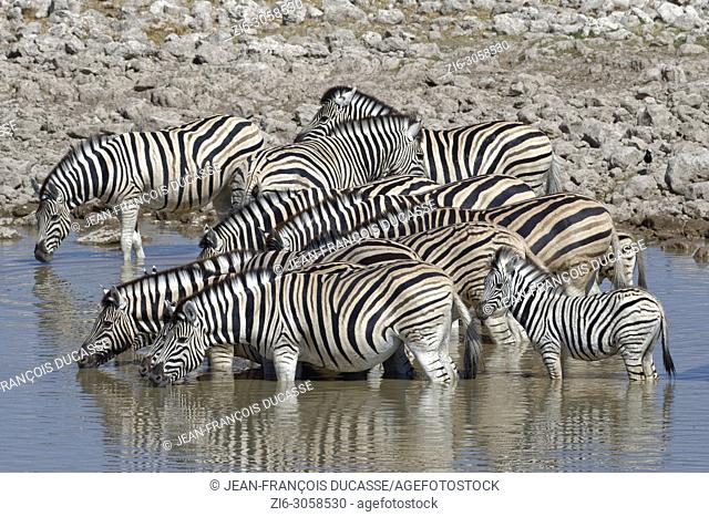Herd of Burchell's zebras (Equus quagga burchellii) with two zebra foals, standing in water, drinking, Okaukuejo waterhole, Etosha National Park, Namibia