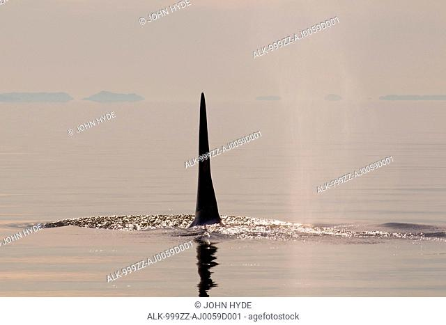 Tall dorsal fin of a large adult male Orca whale surfacing in Chatham Strait at sunset, Inside Passage, Tongass National Forest, Southeast Alaska, Summer