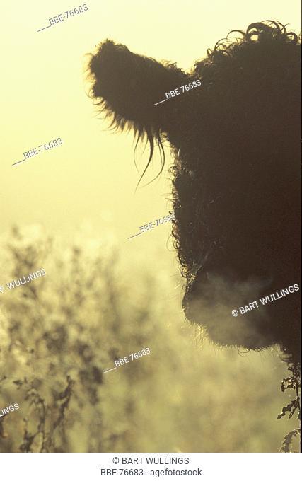 Big Galloway cattle bull in back light