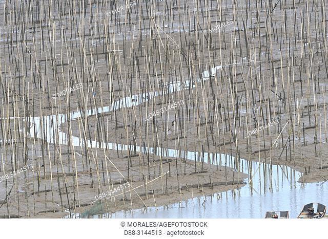 Chine, Chine du Sud, Province de Fujiang, Région de Xiapu, Bambous à marée basse, Bambous qui servent à la pêche, à l'aquaculture / China, Fujiang Province