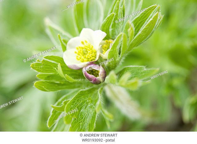 Castilleja exserta Castilleja exserta, Arctic flora of, Chirpoy Island Bering Sea, Russia, Asia