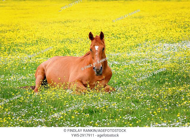 Horse resting in a meadow of buttercups and wild flowers