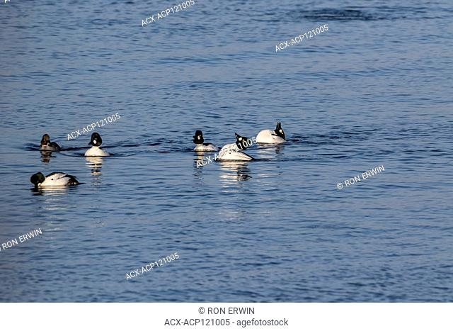 Common Goldeneye (Bucephala clangula) flock with males doing courtship displays on Lake Wolsey, Manitoulin Island, Ontario, Canada