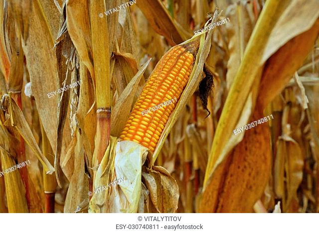 Ripe Maize Ready to Harvest