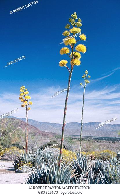Desert agave (Agave havardiana) Anza Borrego State Park. California. USA