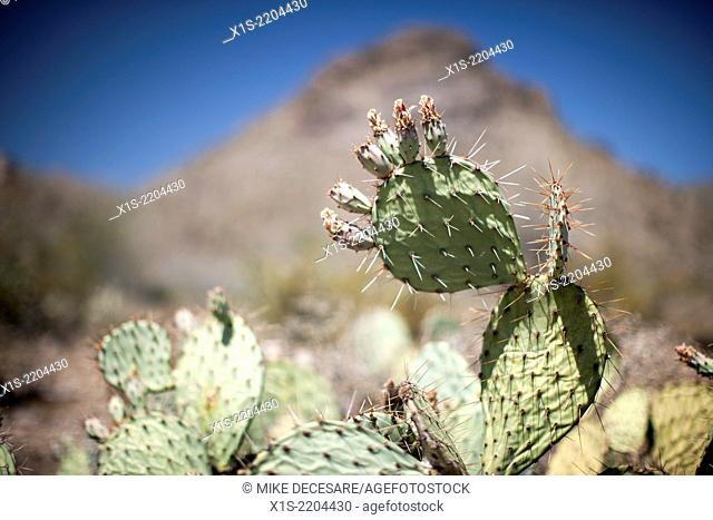 Cactus flowers begin to bloom in a desert landscape dominated by cactus outside Phoenix, Arizona, in the United States