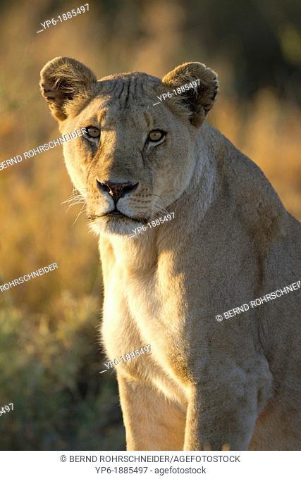 Lioness Panthera leo sitting in savannah at dawn, Serengeti National Park, Tanzania
