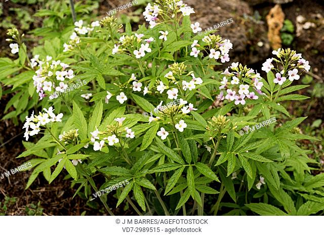 Pinnate coralroot (Cardamine heptaphylla) is a perennial plant that grows in the European beech forests
