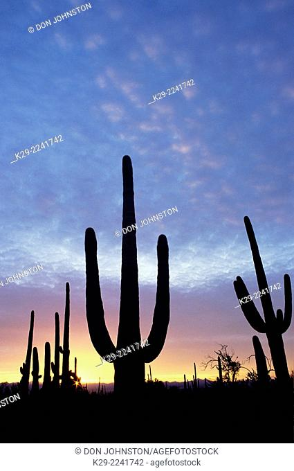 Giant saguaro cactus in the Sonoran Desert at sunset, Saguaro National Park, Arizona, USA