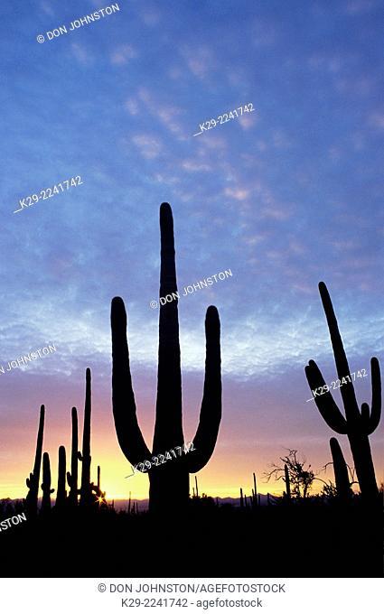 Giant saguaro cactus in the Sonoran Desert at sunset, Saguaro National Park, Arizona, USA