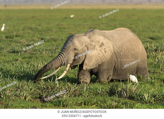 African elephant Loxodonta africana in Amboseli National Park. Kenya. Africa