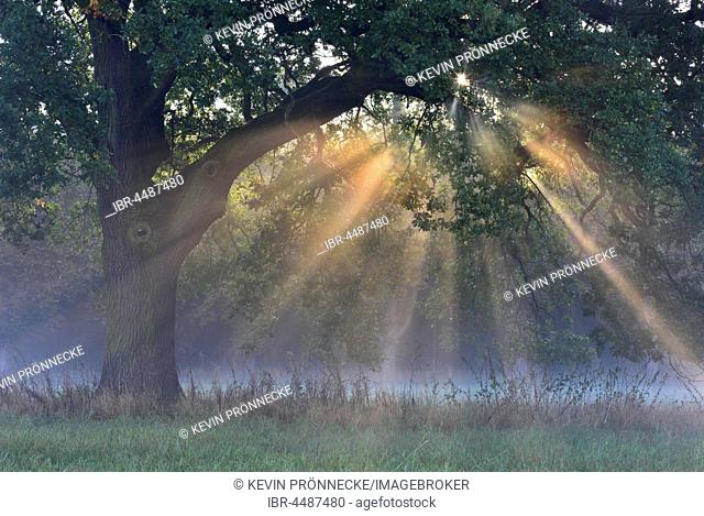 Sun rays shine through tree, River Elbe Floodplains at sunrise, foggy atmosphere, Middle Elbe Biosphere Reserve, Saxony-Anhalt, Germany