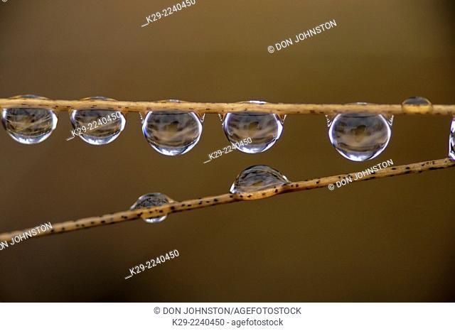 Row of raindrops on stalks of hair-grass, Greater Sudbury, Ontario, Canada