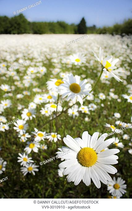 The Ox-eye Daisy, Leucanthemum vulgare, is a common wildflower in the UK