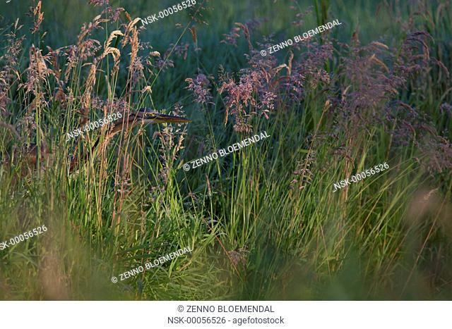 Purple Heron (Ardea purpurea) hunting in grassland, The Netherlands, Zuid-Holland, Meerkerk