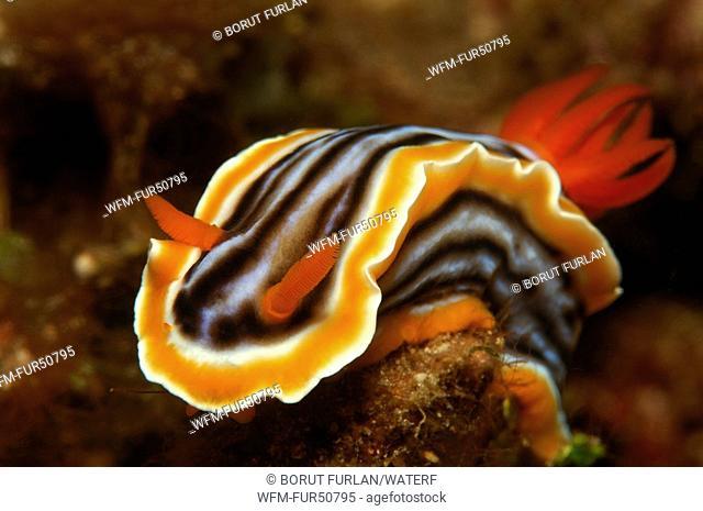 Chromodoris Nudibranch, Chromodoris magnifa, Alor, Lesser Sunda Islands, Indo-Pacific, Indonesia