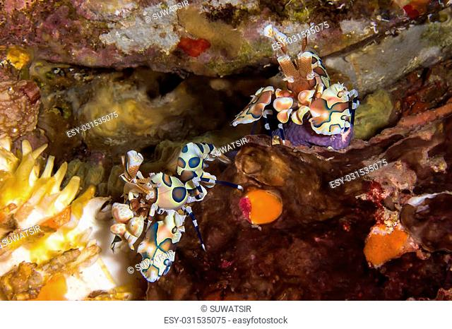 Picture of Couple Harlequin Shrimp eating Sea Star