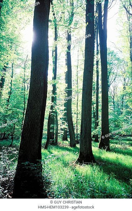 France, Allier, Troncais forest
