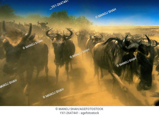It was dust everywhere. As soon as the wildebeest hooves trampled the hot dry soil, the air became extremely dusty