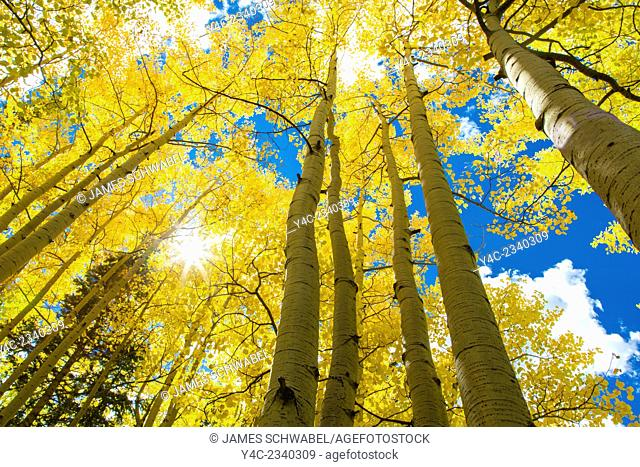 Looking up into bright yellow Aspen trees with blue sky on a fall day in Colorado