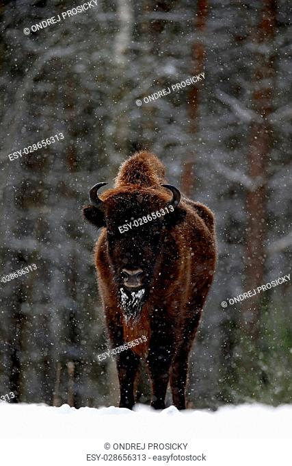 European bison in the winter forest, cold scene with big brown