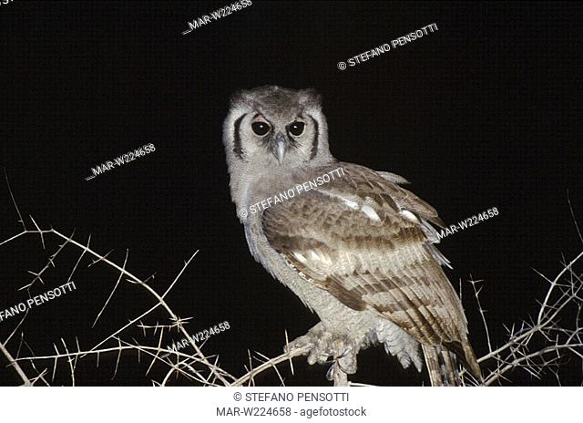 giant eagle owl, bubo lacteus, south africa, africa, night time