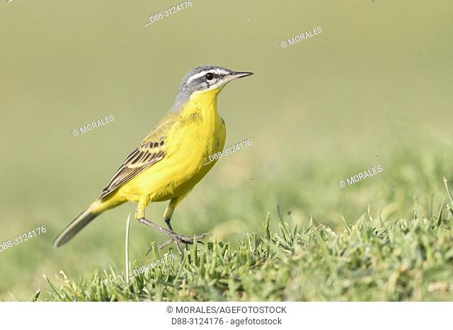 Africa, Ethiopia, Rift Valley, Ziway lake, . Yellow Wagtail (Motacilla (Flava flava), on the ground, hunting insects