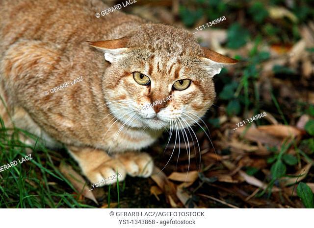 AFRICAN WILDCAT felis silvestris lybica, ADULT