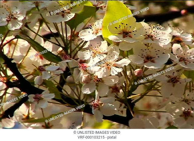 Almond Blossoms and Bees