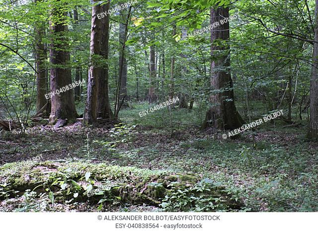 Summertime deciduous primeval forest with old oak tree in background andmaple and hornbeam in foreground, Bilowieza Forest, Poland, Europe
