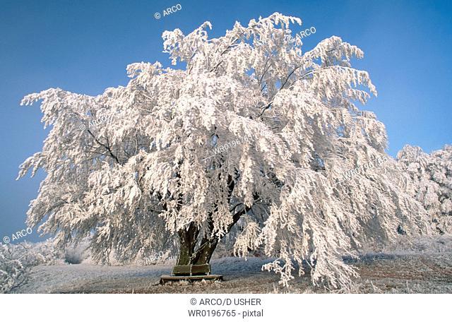Beech, in, winter, Hessen, Germany, Fagus, sylvatica