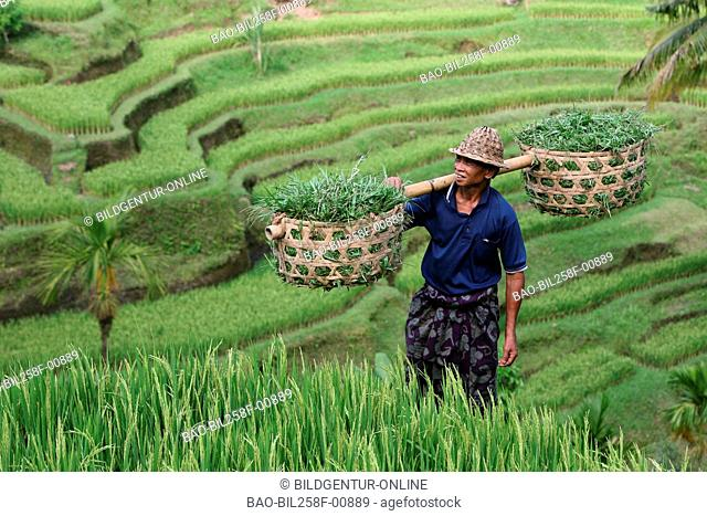 A rice farmer in the rice patios with Tegallalang in centre of the island Bali, Indonesia