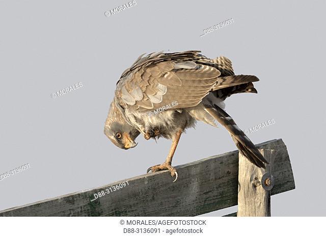 Africa, Southern Africa, Bostwana, Central Kalahari Game Reserve, Pale chanting goshawk (Melierax canorus), immature perched