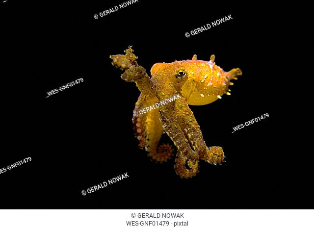 Blue-ringed octopus, Hapalochlaena lunulata