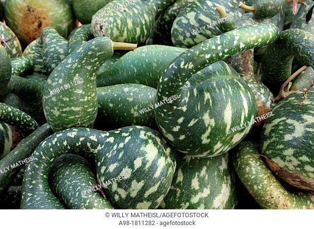 Harvested green pumpkins