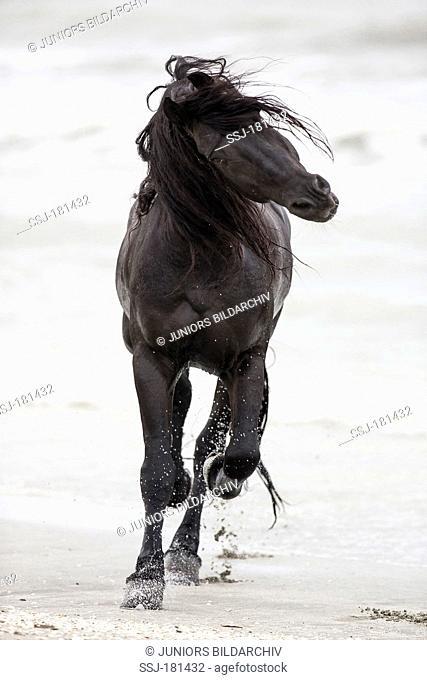 Friesian Horse. Black stallion displaying on a beach. Romania