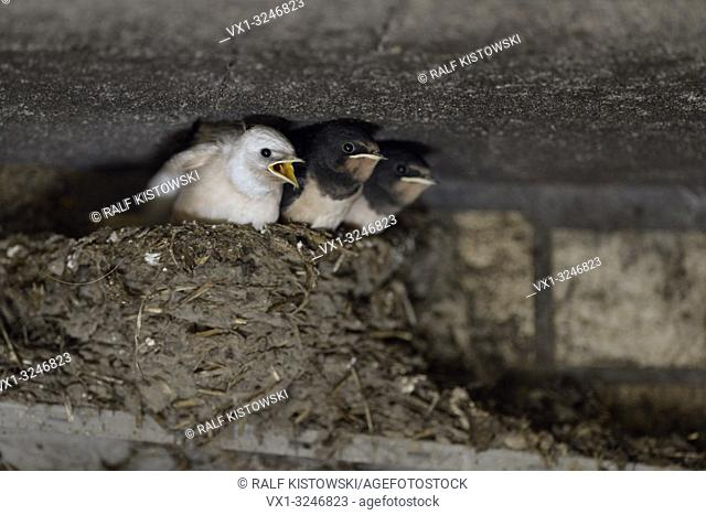 Barn Swallow / Rauchschwalbe ( Hirundo rustica ), begging chicks in nest, almost fledged, one with white plumage (gene defect), leucistic, leucism, Europe