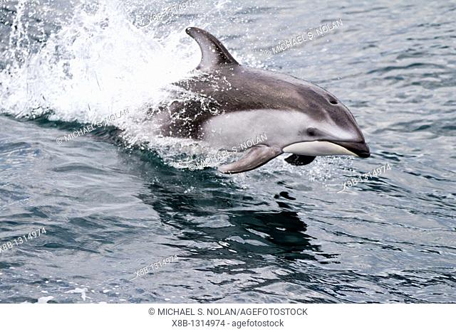 A pod of Pacific white-sided dolphins Lagenorhynchus obliquidens leaping and bow-riding the National Geographic Sea Bird in Johnstone Strait, British Columbia