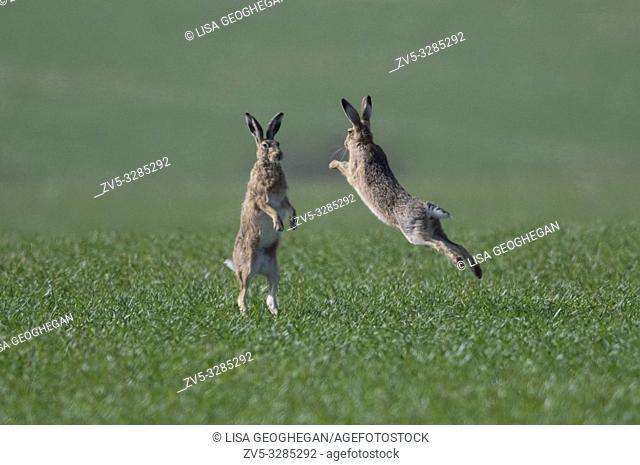 European Brown Hares- Lepus europaeus box. Spring. Uk