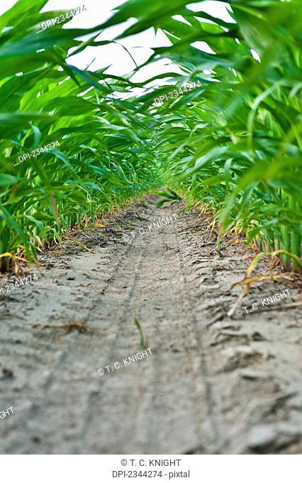 Agriculture - View from beneath the canopy looking down between rows of mid growth pre-tassel stage grain corn plants / near Yazoo City, Mississippi, USA