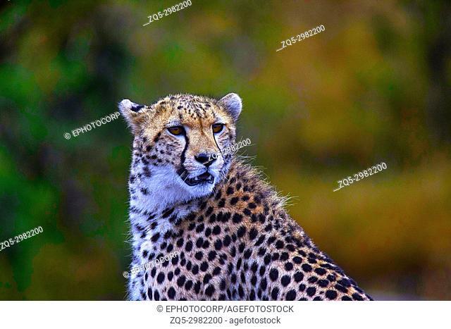 African Cheetah, Kenya, Africa