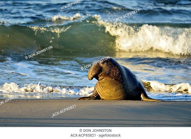 Northern elephant seal (Mirounga angustirostris) Male/bull near surf line on beach, San Simeon, Piedras Blancas Rookery, California, USA