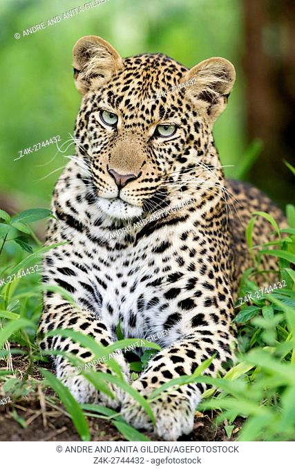 African Leopard (Panthera pardus) lying down in forest, looking at camera, Masai Mara national reserve, Kenya