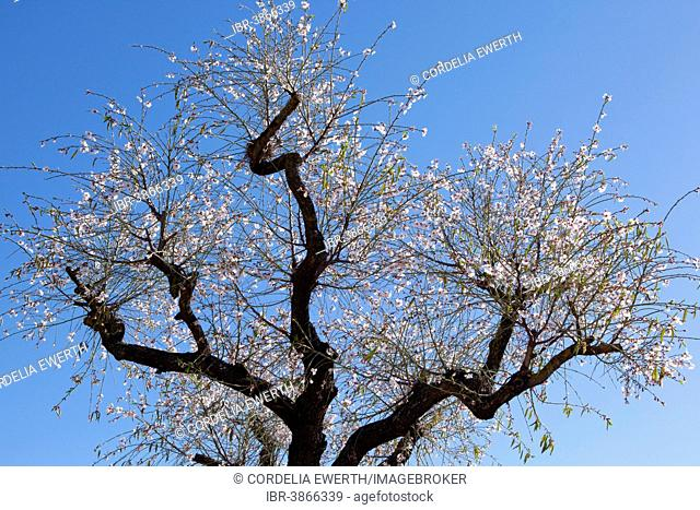 Almond blossom season, blossoming Almond Tree (Prunus dulcis), Majorca, Balearic Islands, Spain