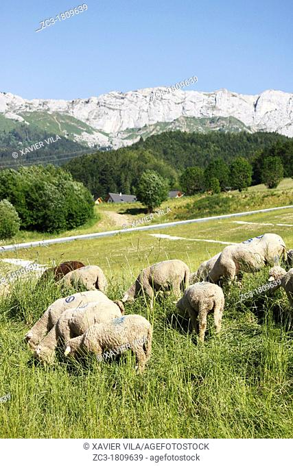Sheeps in the Vercors, Isère, Rhône-Alpes, France